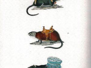 Ruth Marten, Rats, 2013, 24 x 14 cm, Watercolor on 19th Century Print