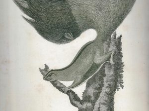 Squirrel, 2008, Ink on 18th century print, 27,5 x 20,3 cm (10,8 x 8 inches)